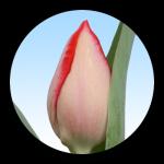 Tulipa Ariella