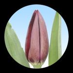 Tulipa Bigi Brasa