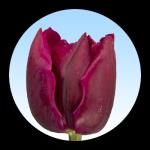 Tulipa Tonga
