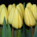 Tulipa Crème Fraîche ®