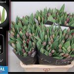 Tulipa Bigi Brasa ® Veiling