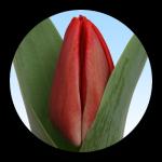 Tulipa Ilja Gort