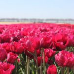 Tulipa Tonga Field ®