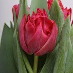 Tulipa Tonga ®